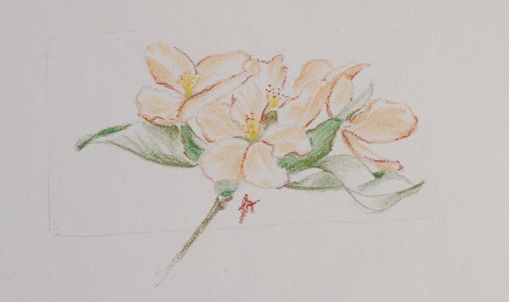 cours-de-dessin-en-ligne-fleur-pommier